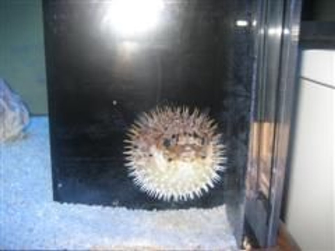 saltwater fish - diodon holocanthus - porcupine puffer stocking in 157 gallons tank - UPSET