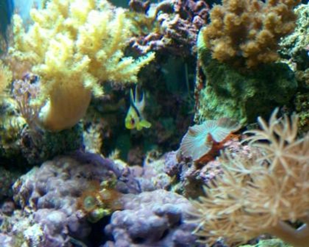 saltwater fish - sphaeramia nematoptera - spotted cardinalfish stocking in 10 gallons tank - Pajama Cardinal in his hideout
