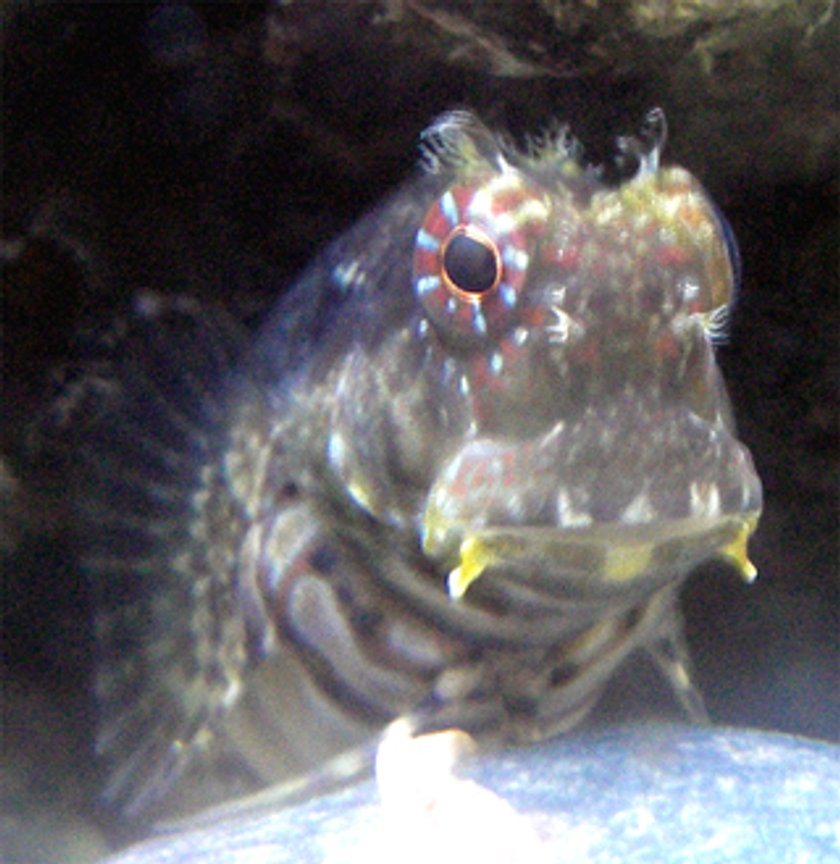saltwater fish - salarias fasciatus - lawnmower blenny stocking in 67 gallons tank - Lawnmower Blenny