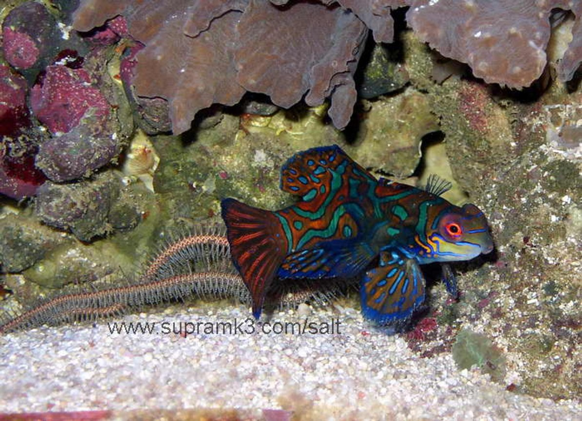 saltwater fish - pterosynchiropus splendidus var. - red mandarin stocking in 125 gallons tank - Pterosynchiropus splendidus