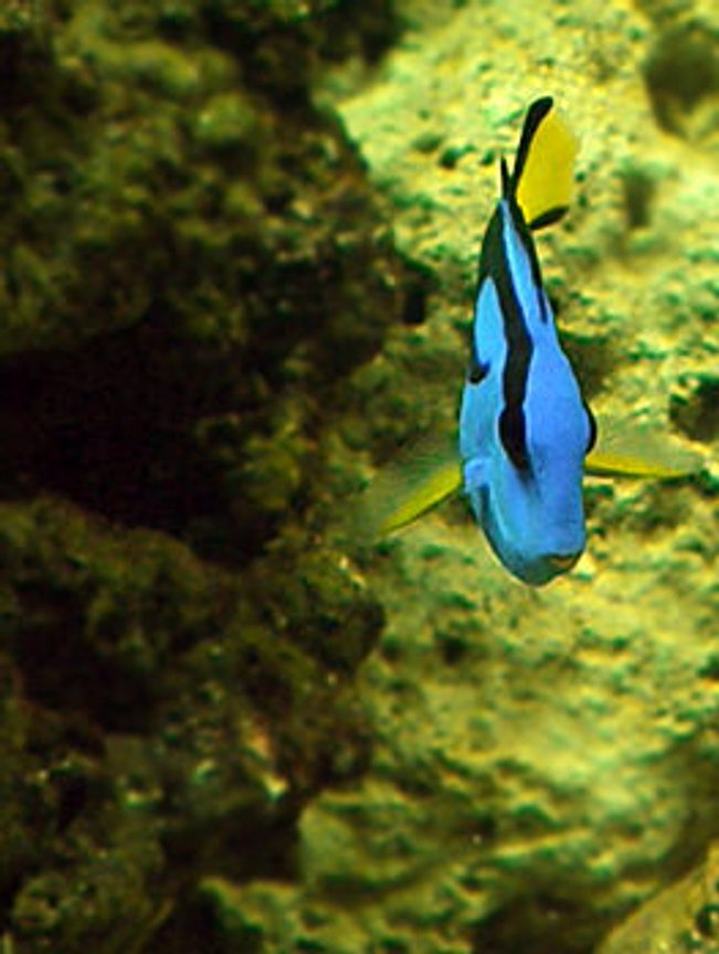 saltwater fish - paracanthurus hepatus - blue tang stocking in 55 gallons tank - My Regal Tang named Zim. My little sister named him.