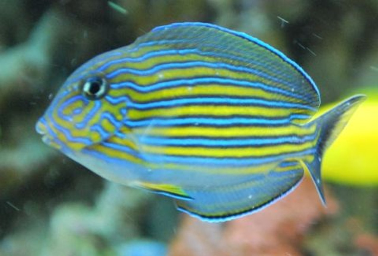 saltwater fish - acanthurus lineatus - clown tang stocking in 60 gallons tank - Our newest addition, our clown tang we call Buddy