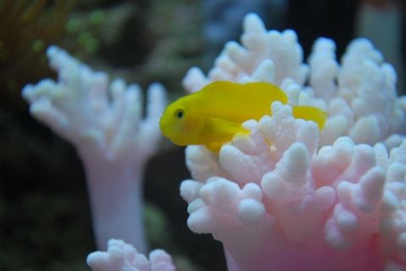 saltwater fish - gobiodon okinawae - clown goby, yellow stocking in 60 gallons tank - Yellow goby, named Mini cooper chilling (IF YOU DO NOT LIKE OUR PICTURES THEN YOU DO NOT HAVE TO LOOK AT THEM, BUT VOTING 0 IS VERY NEGATIVE ON YOUR PART) PLEASE JUST MOVE ON - THANKS!!!!