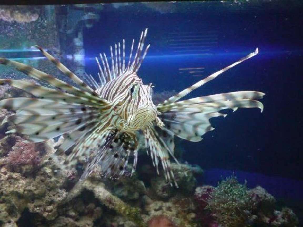 saltwater fish - pterois volitans - volitan lionfish stocking in 130 gallons tank - my lion fish