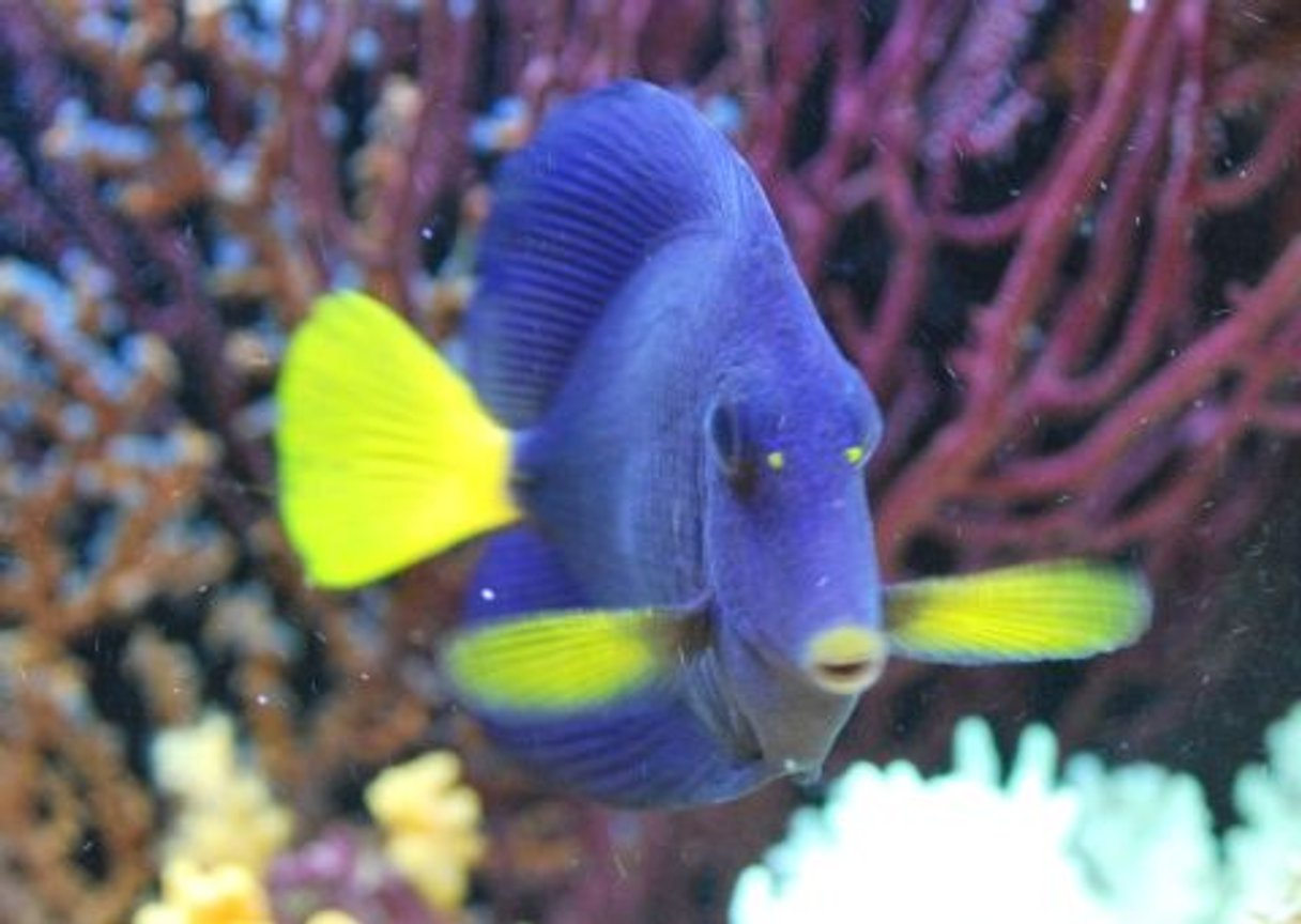 saltwater fish - zebrasoma xanthurum - purple tang stocking in 60 gallons tank - Purple Tang (Prince)