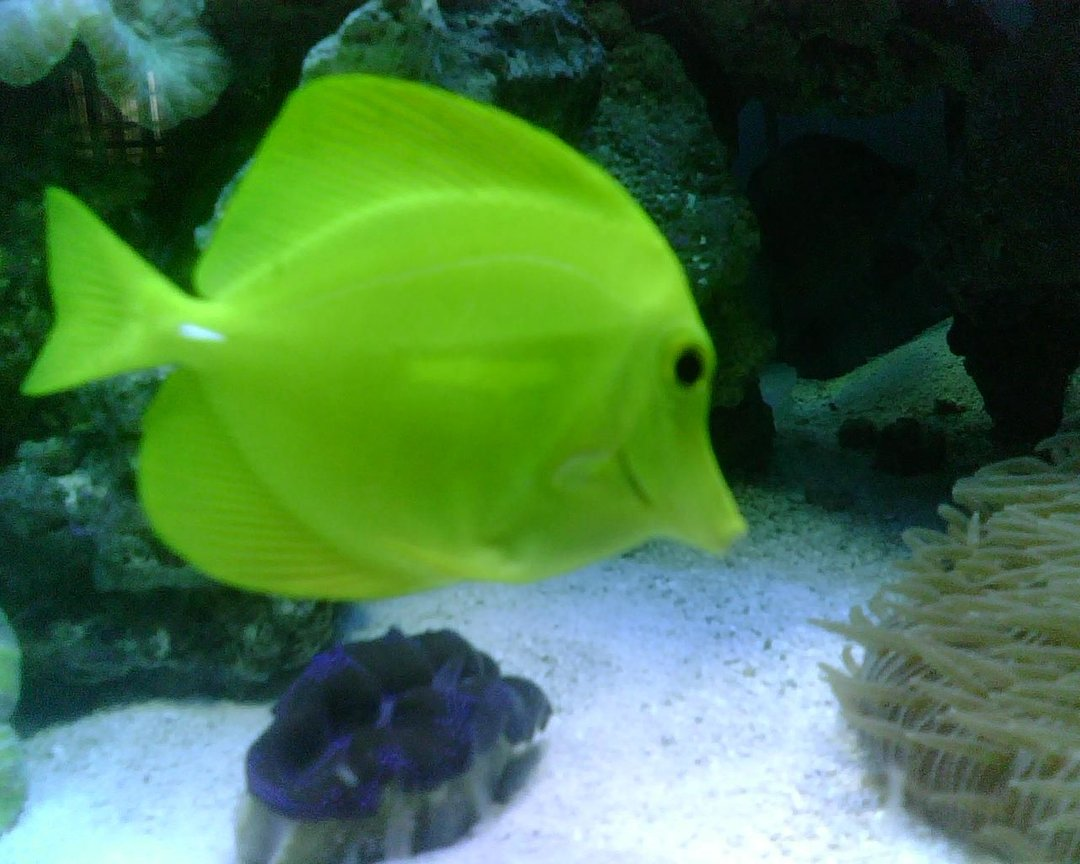 saltwater fish - zebrasoma flavescens - yellow tang - hawaii stocking in 56 gallons tank - Yellow Tang