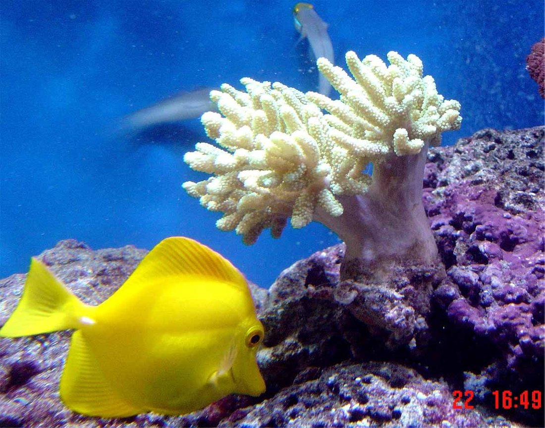 saltwater fish - zebrasoma flavescens - yellow tang - hawaii stocking in 185 gallons tank - update