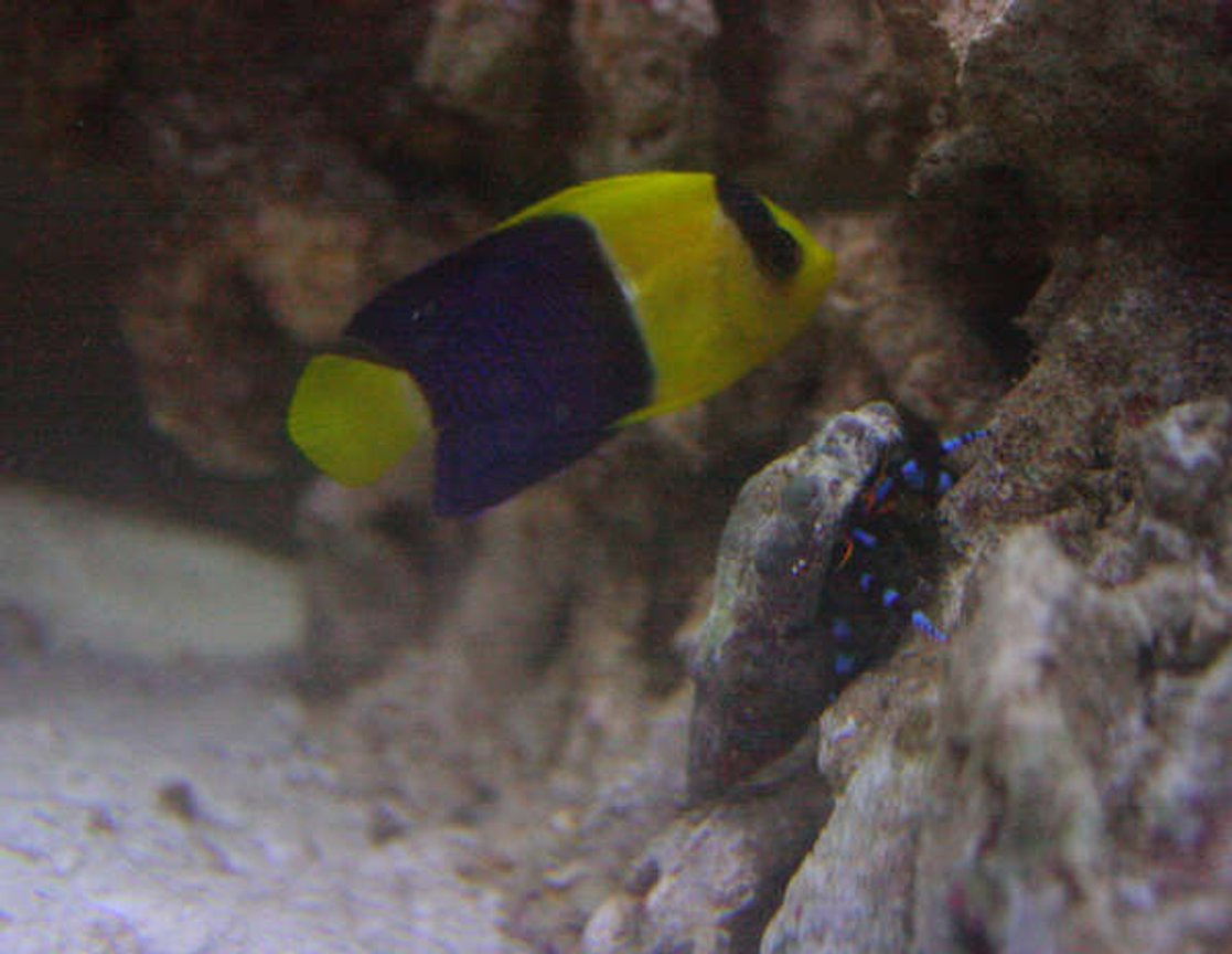 saltwater fish - centropyge bicolor - bicolor angelfish stocking in 155 gallons tank - Bicolour Angel , Electric Blue Hermit Crab