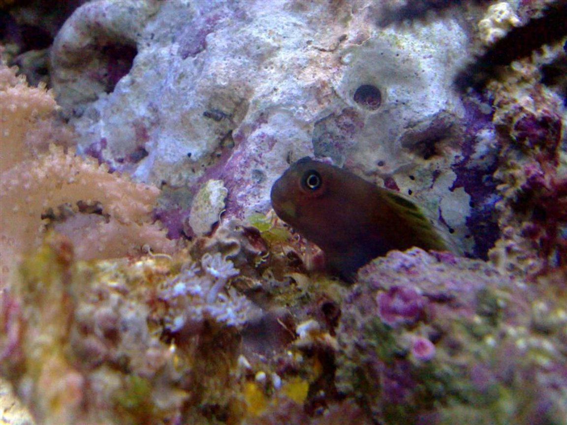 saltwater fish - atrosalarias fuscus - black sailfin blenny stocking in 55 gallons tank - I swear these guys have personality