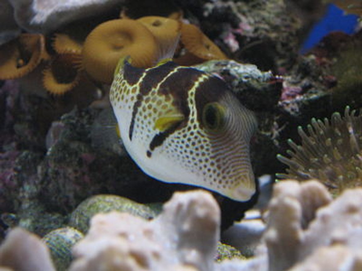 saltwater fish - canthigaster valentini - saddle valentini puffer stocking in 330 gallons tank - my valentino puffer, reef safe little fella! thanks for the zero vote, you really think this is the worst?