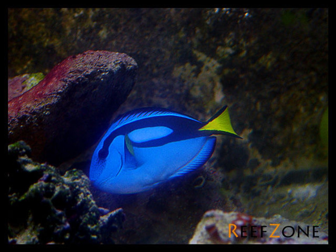 saltwater fish - paracanthurus hepatus - blue tang stocking in 75 gallons tank - Blue Tang (8-17-08)