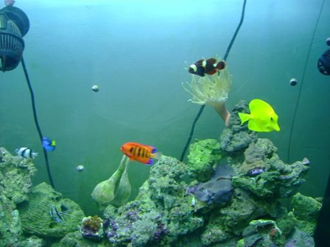 saltwater fish - zebrasoma flavescens - yellow tang - hawaii stocking in 157 gallons tank - some fish
