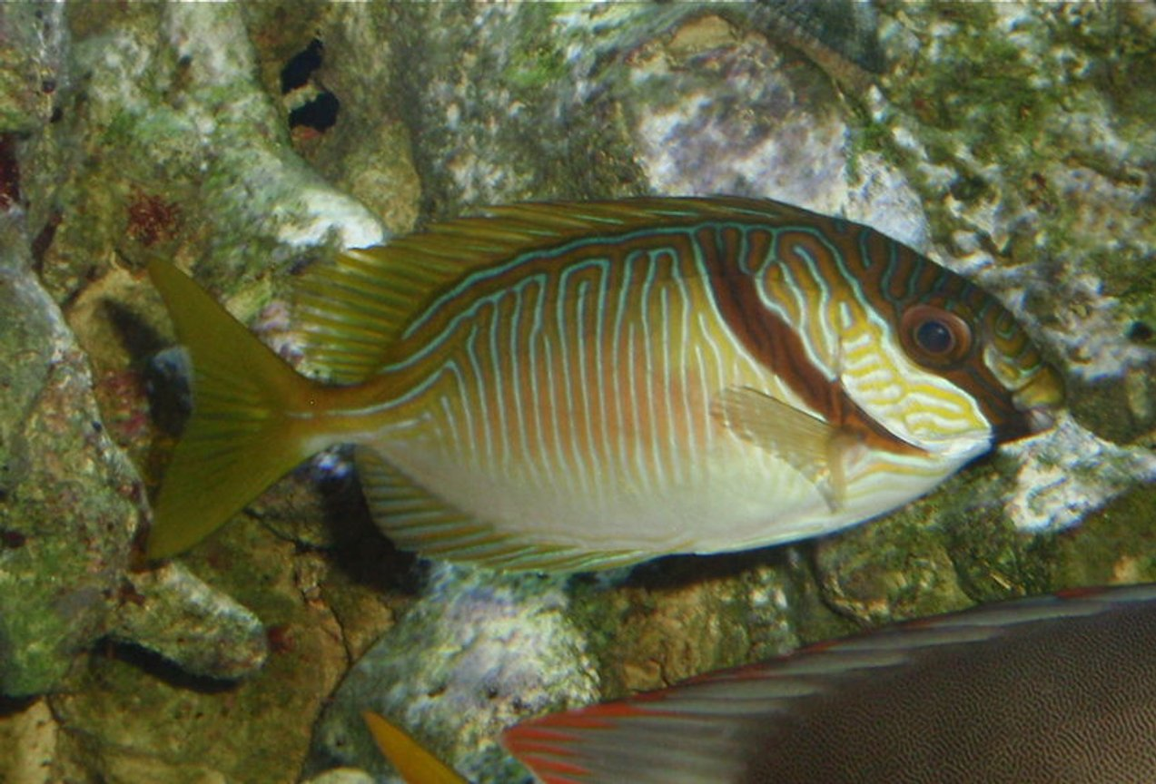 saltwater fish - siganus doliatus - scribbled rabbitfish stocking in 144 gallons tank - Scribbled Rabbitfish