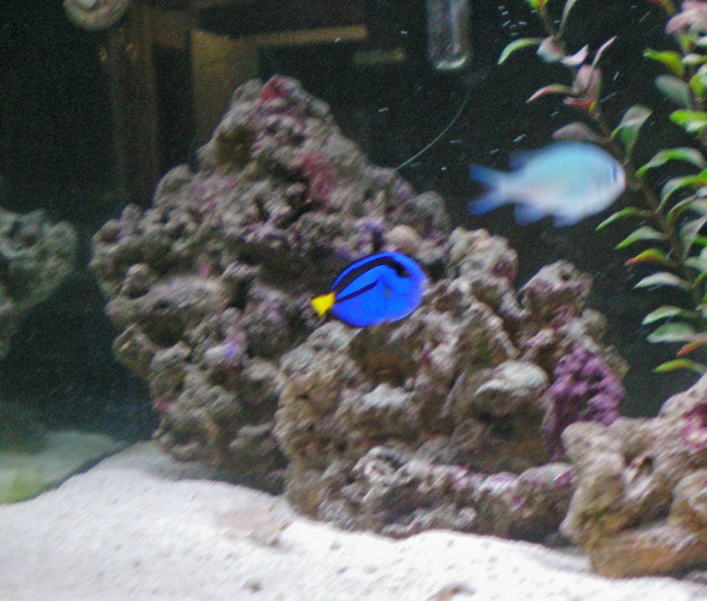 saltwater fish - paracanthurus hepatus - blue tang stocking in 75 gallons tank - Brilliant Baby Blue Tang