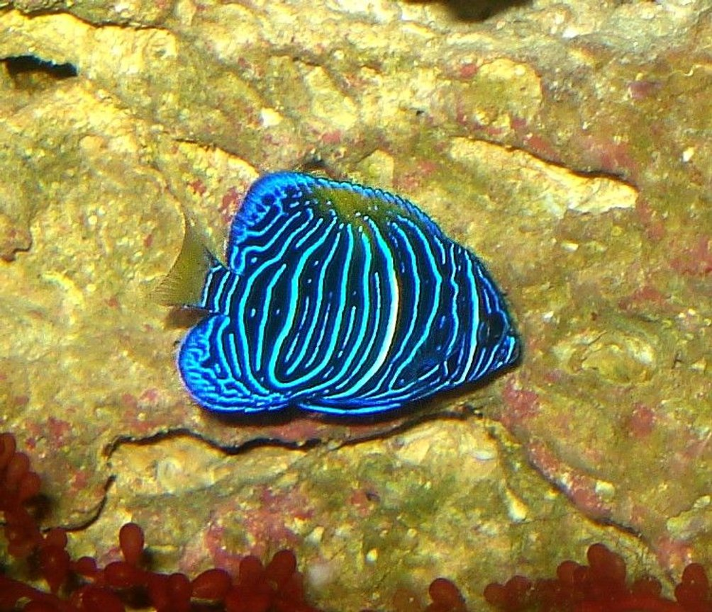 saltwater fish - pomacanthus xanthometopon - blueface angelfish stocking in 65 gallons tank - Juvenile Maculosus Angelfish