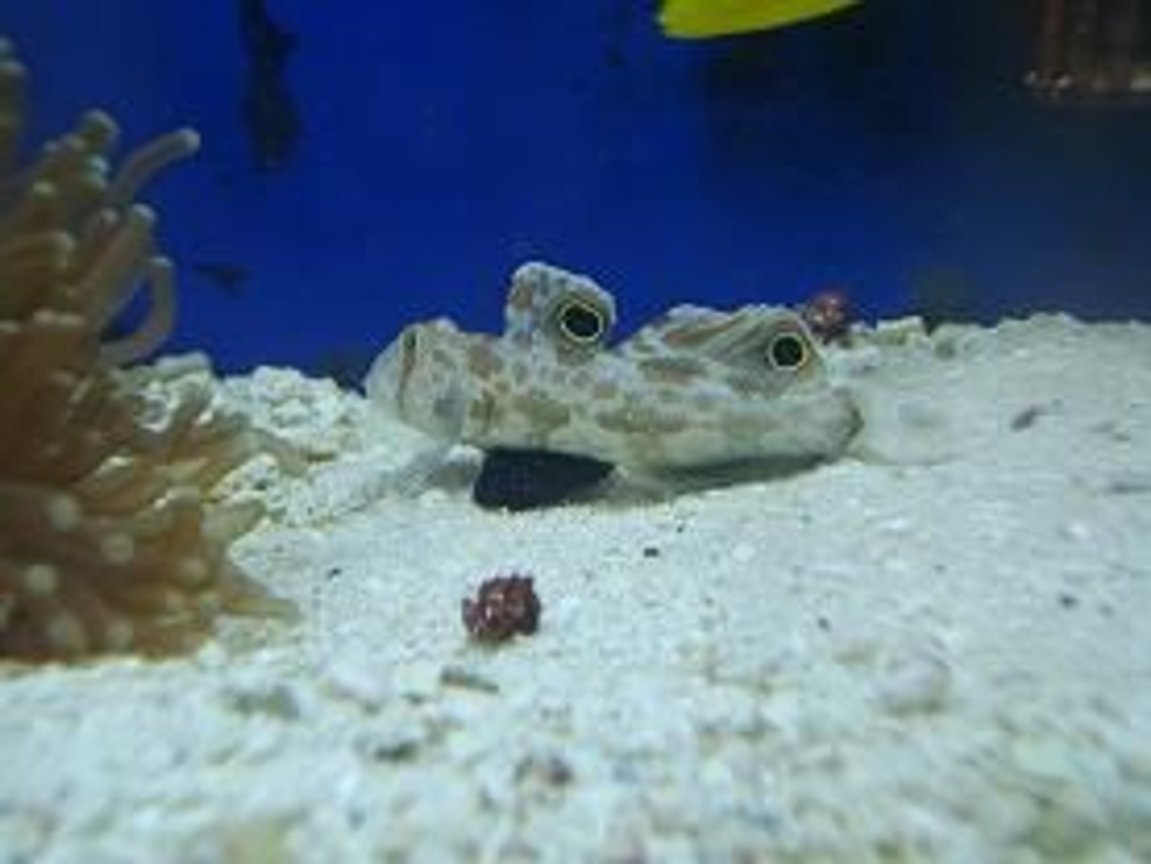 saltwater fish - signigobius biocellatus - two spot goby stocking in 55 gallons tank - This fish was a great itroduction to my tank.