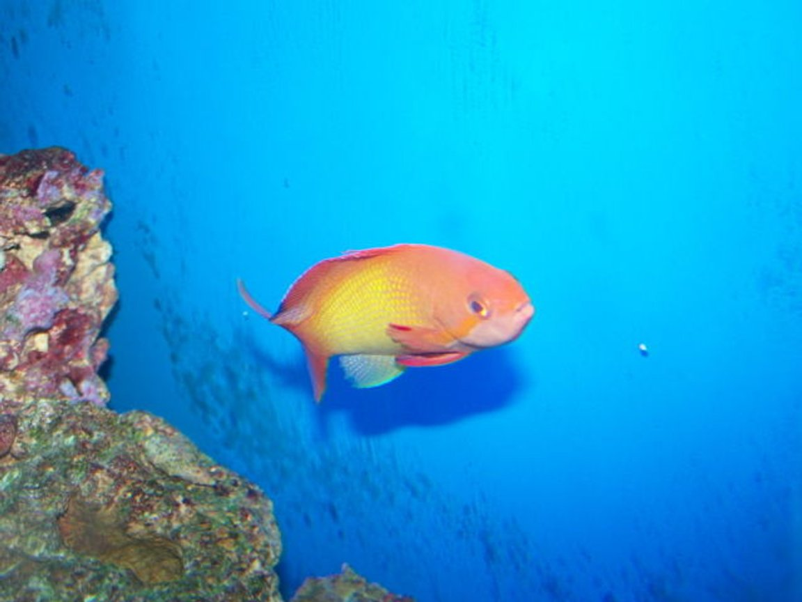 saltwater fish - pseudanthias squamipinnis - lyretail anthias stocking in 70 gallons tank - male squami anthias