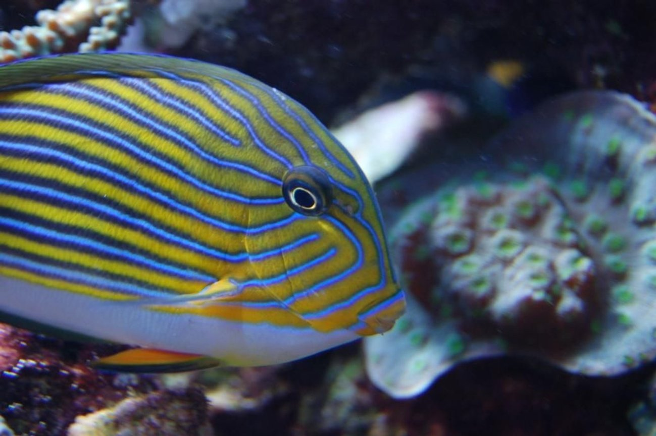 saltwater fish - acanthurus lineatus - clown tang stocking in 210 gallons tank - Acanthurus lineatus