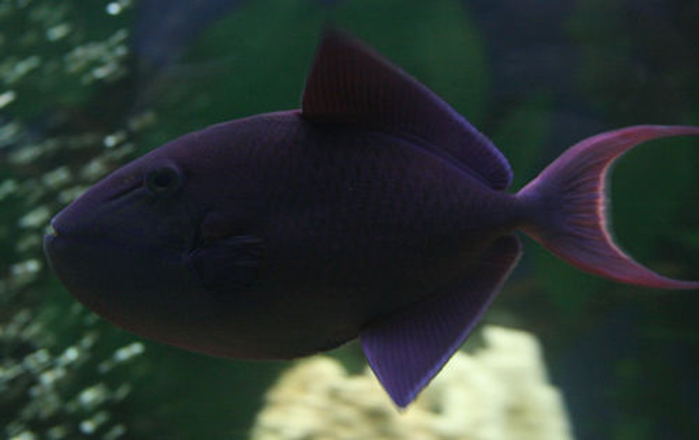 saltwater fish - odonus niger - niger triggerfish stocking in 220 gallons tank - Red Tooth Trigger Fish or Niger Trigger Beautiful colours, day and night