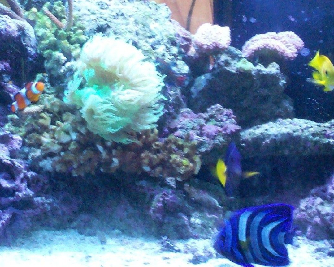 saltwater fish - zebrasoma xanthurum - purple tang stocking in 120 gallons tank - 120gal reef. not the wohle tank they wouldnt let me put it on