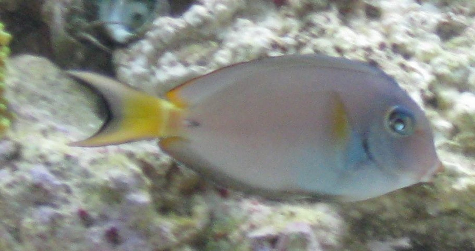saltwater fish - acanthurus leucocheilus - white face tang stocking in 75 gallons tank - Rare Juvenile Acanthurus Leucocheilus AKA Pale Lipped Surgeon Fish
