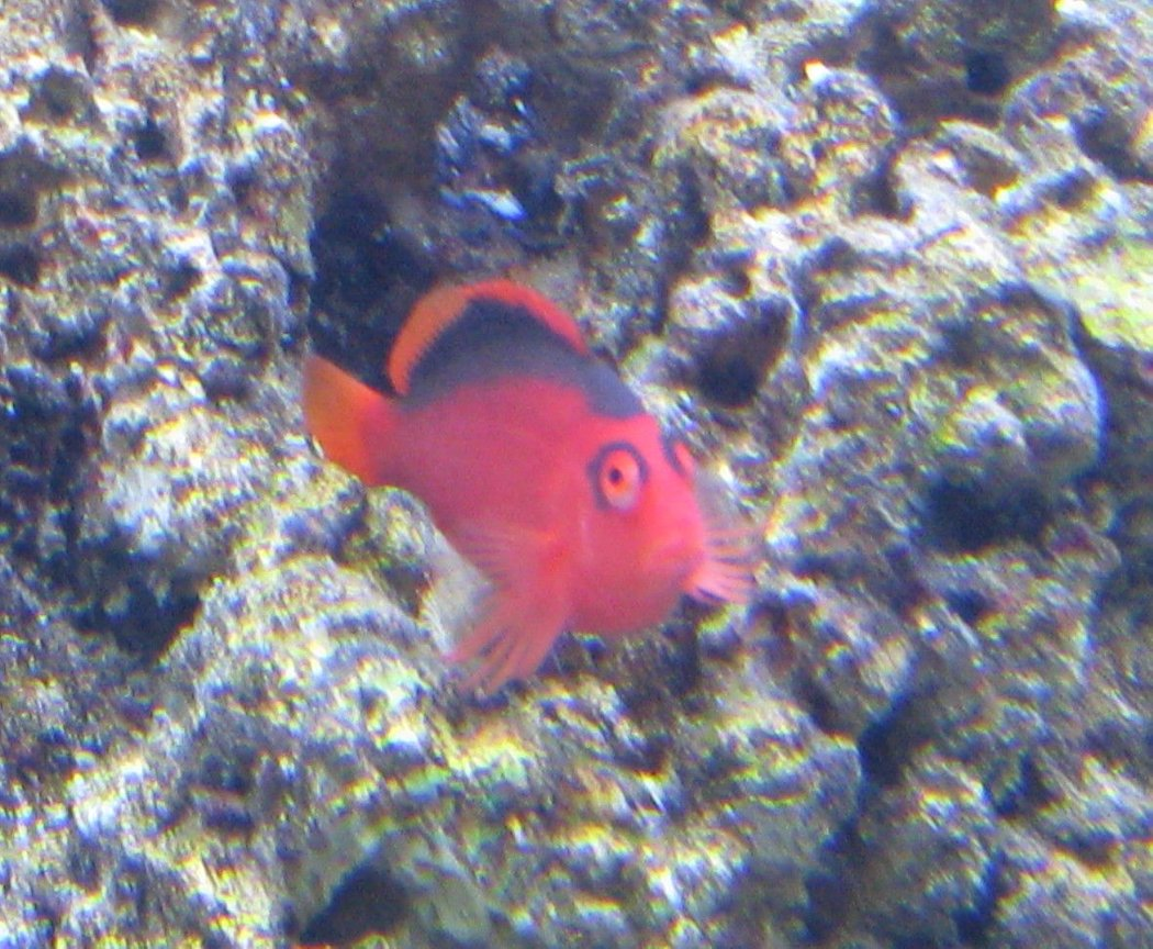 saltwater fish - neocirrhitus armatus - flame hawkfish stocking in 500 gallons tank - My Flame Hawk Chilling on his favorite perch..