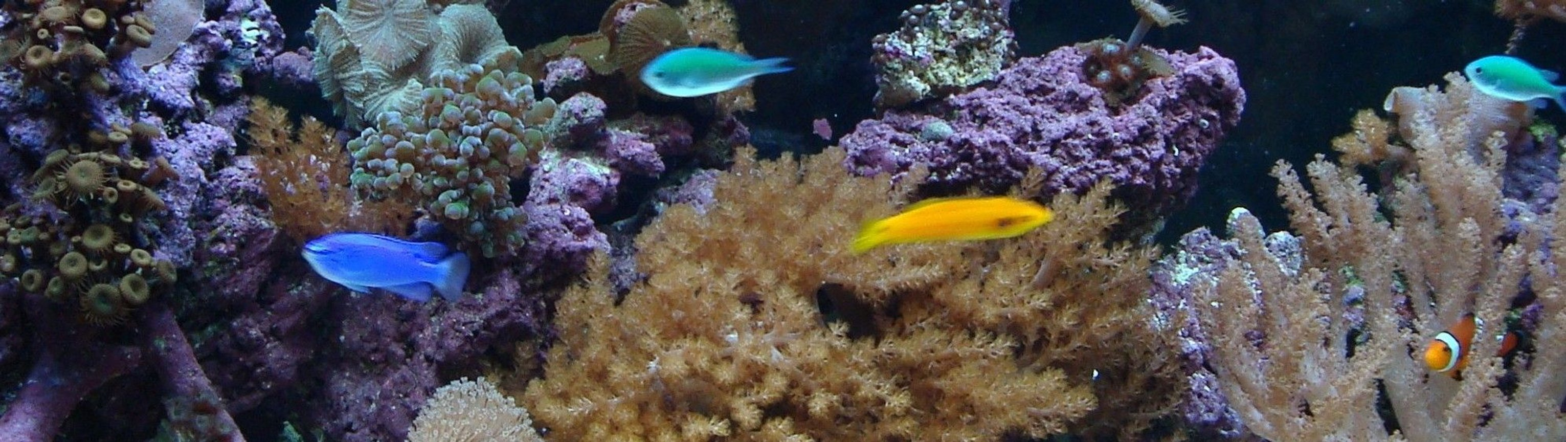saltwater fish - chromis viridis - blue/green reef chromis stocking in 125 gallons tank - 75 gallon reef