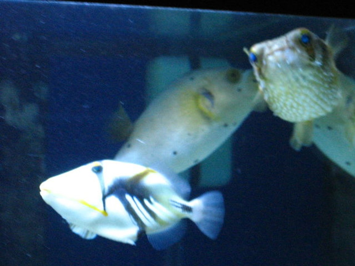 saltwater fish - rhinecanthus aculeatus - humu picasso triggerfish stocking in 75 gallons tank - Three Amigos
