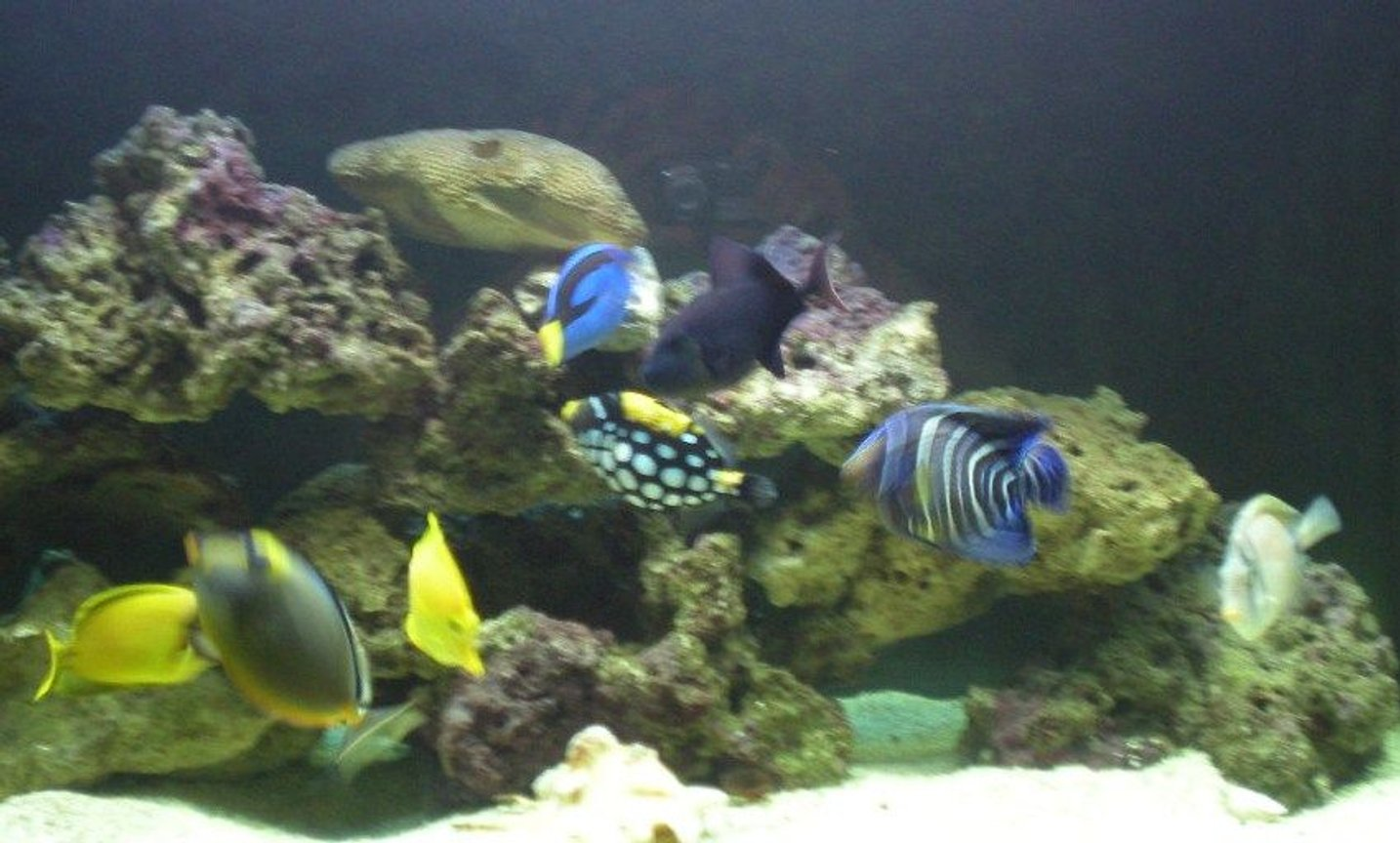 saltwater fish - balistoides conspicillum - clown triggerfish stocking in 90 gallons tank - Some of my fish Hanging out.