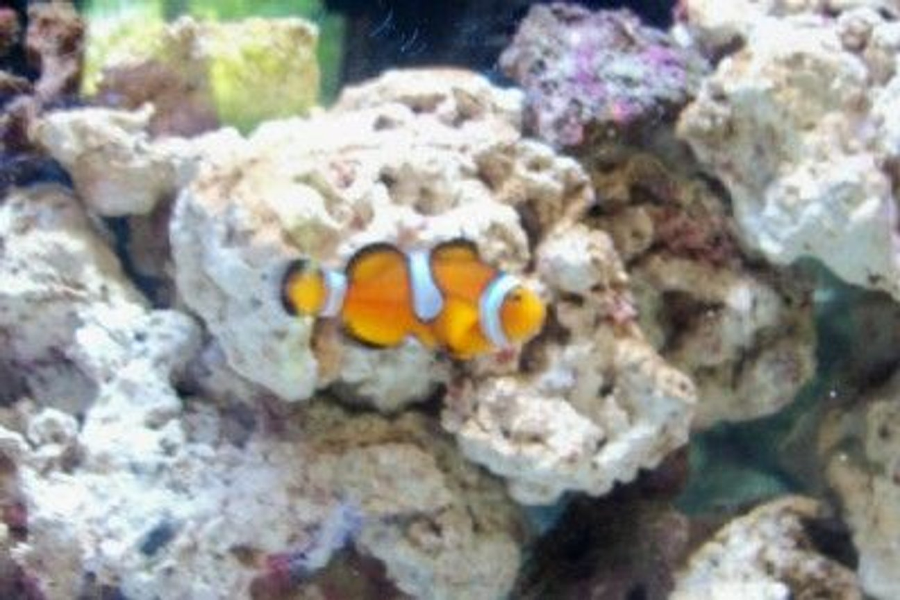 saltwater fish - amphiprion ocellaris - ocellaris clownfish stocking in 55 gallons tank - Mis-Bar Clownfish New2hobby