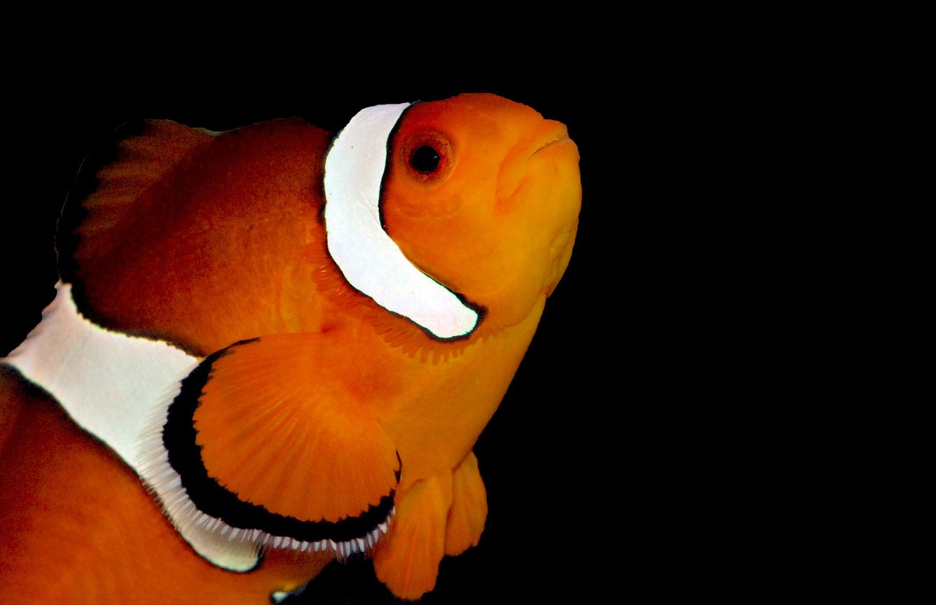 saltwater fish - amphiprion percula - true percula clownfish stocking in 125 gallons tank - Percula Clown