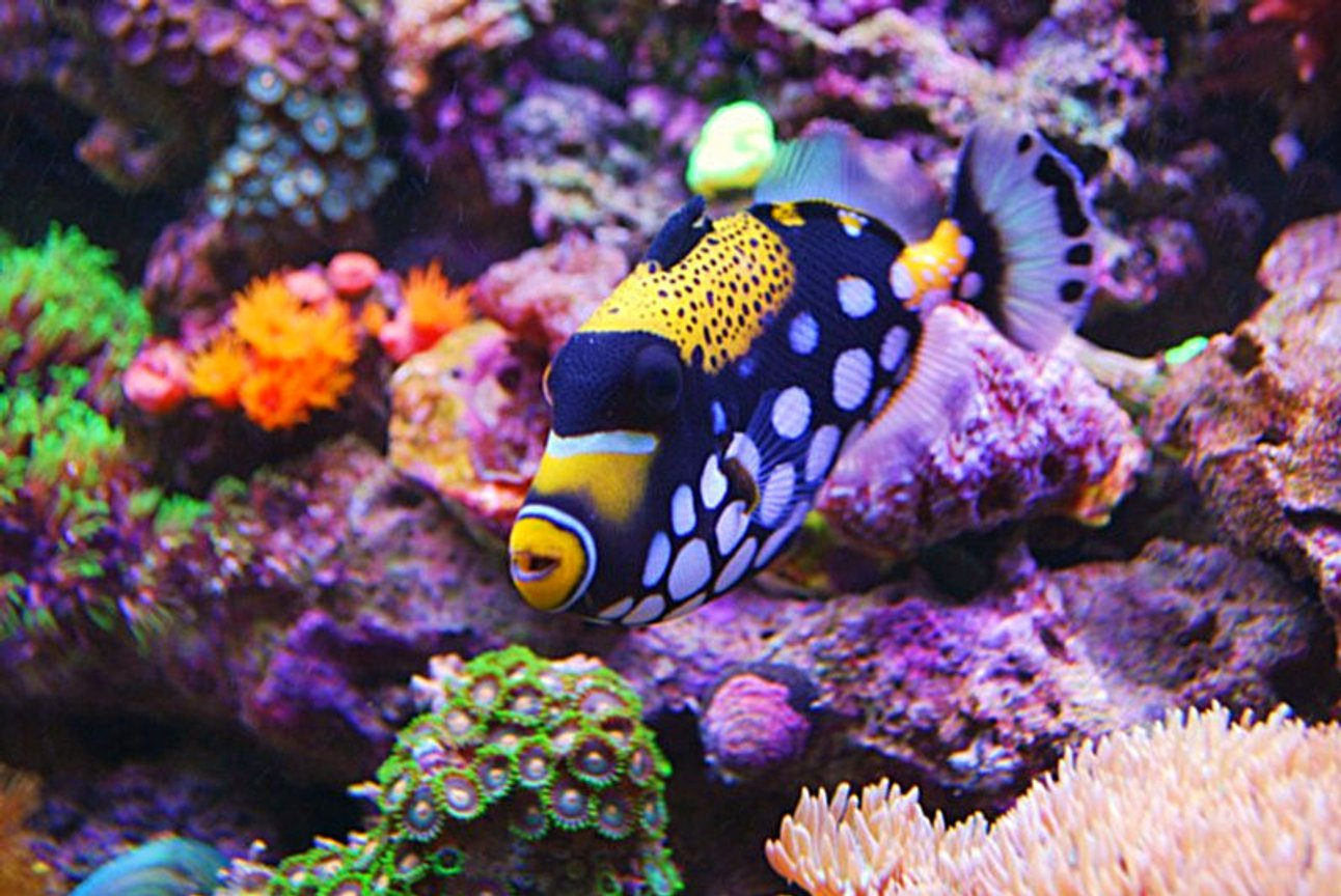 saltwater fish - balistoides conspicillum - clown triggerfish stocking in 135 gallons tank - Clown Trigger