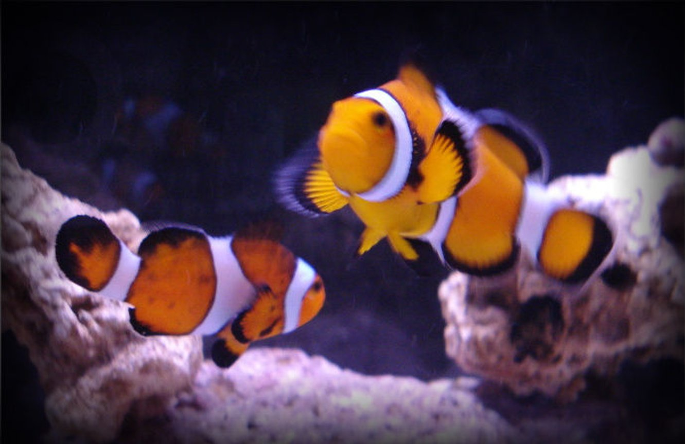 saltwater fish - amphiprion percula - true percula clownfish stocking in 20 gallons tank - A better picture of my clownfish, Ruth and Francis.