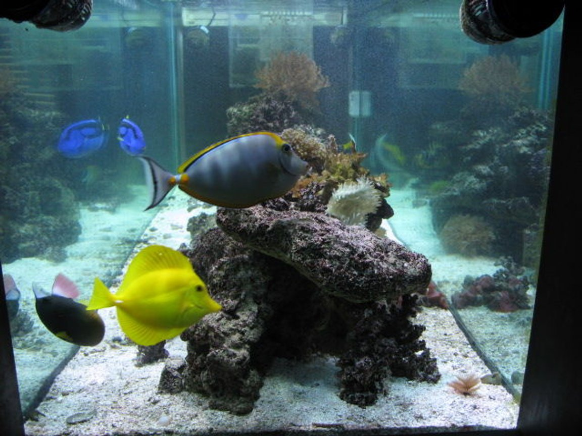 saltwater fish - zebrasoma flavescens - yellow tang - hawaii stocking in 180 gallons tank - Some of my fish!