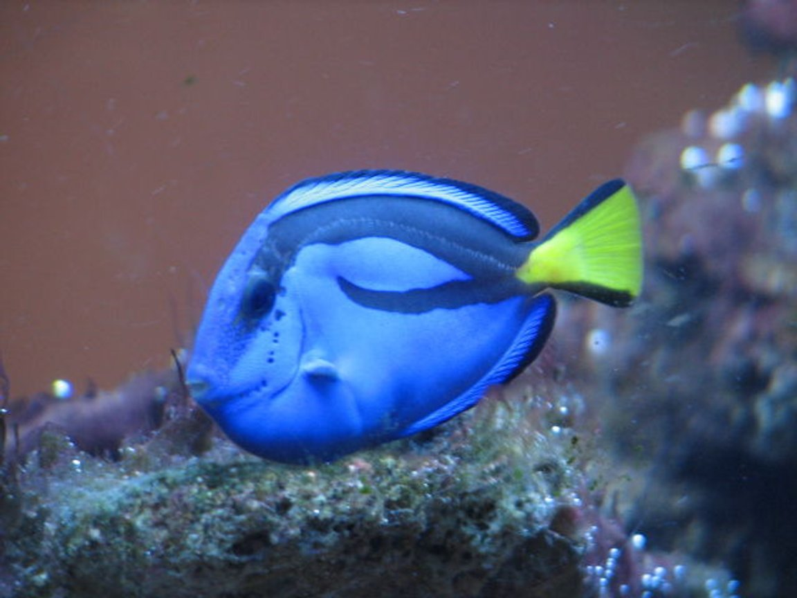 saltwater fish - paracanthurus hepatus - blue tang stocking in 55 gallons tank - all for the camera