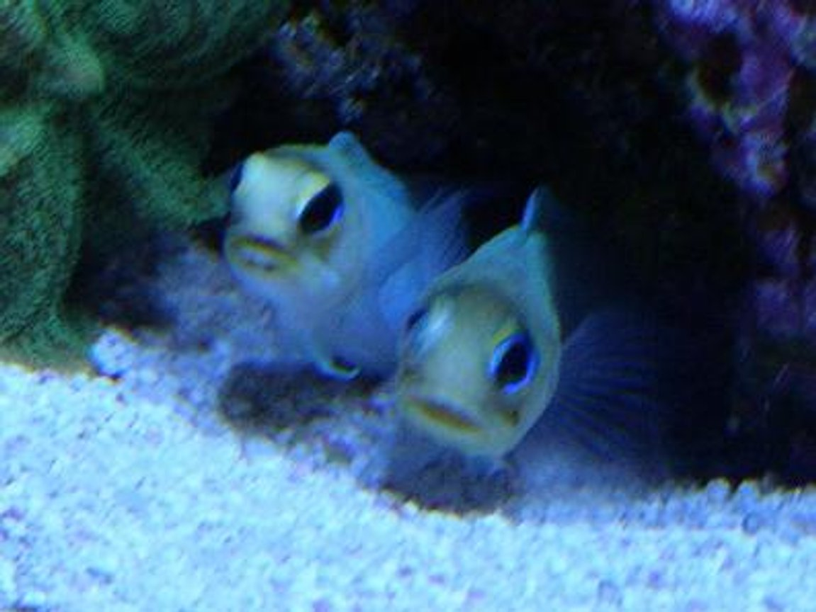 saltwater fish - opistognathus aurifrons - jawfish, yellowhead stocking in 450 gallons tank - -TWO JAWS-