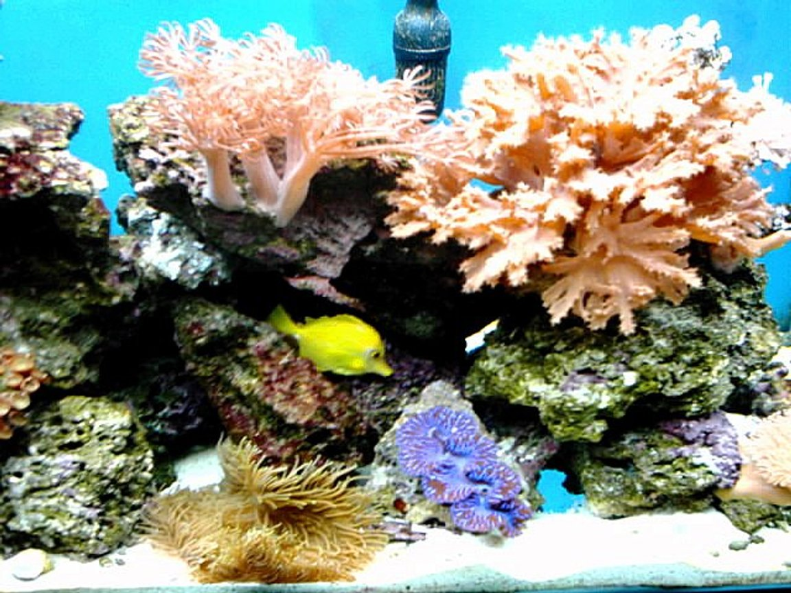saltwater fish - zebrasoma flavescens - yellow tang - hawaii stocking in 65 gallons tank - corner of 65
