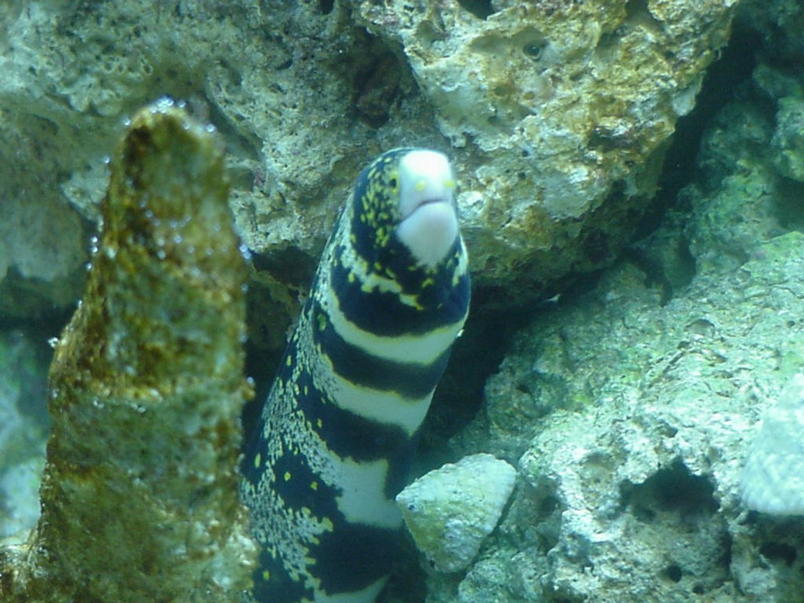 saltwater fish - echidna nebulosa - snowflake eel stocking in 55 gallons tank - a real good pic of my buddy
