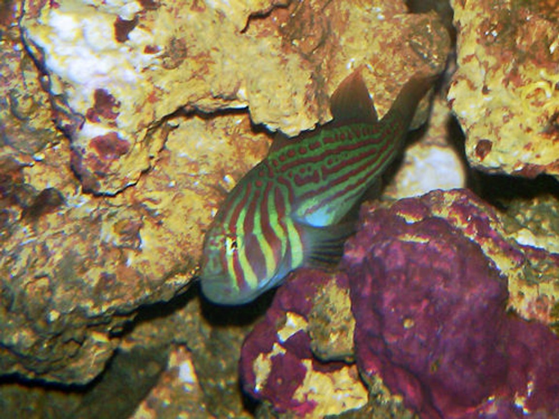 saltwater fish - gobiodon atrangulatus - clown goby, green stocking in 20 gallons tank - Green Clown Goby
