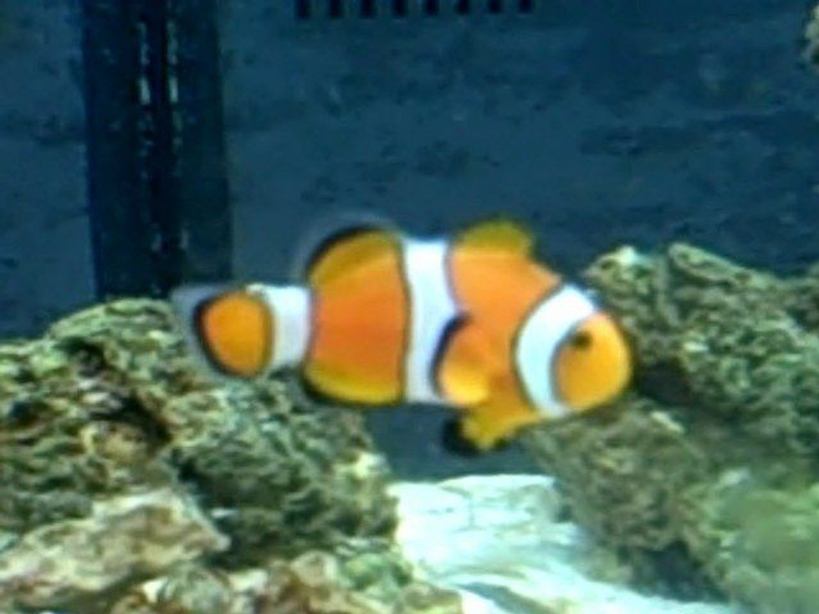 saltwater fish - amphiprion percula - true percula clownfish - clownfish: took my a LONG time to get this.