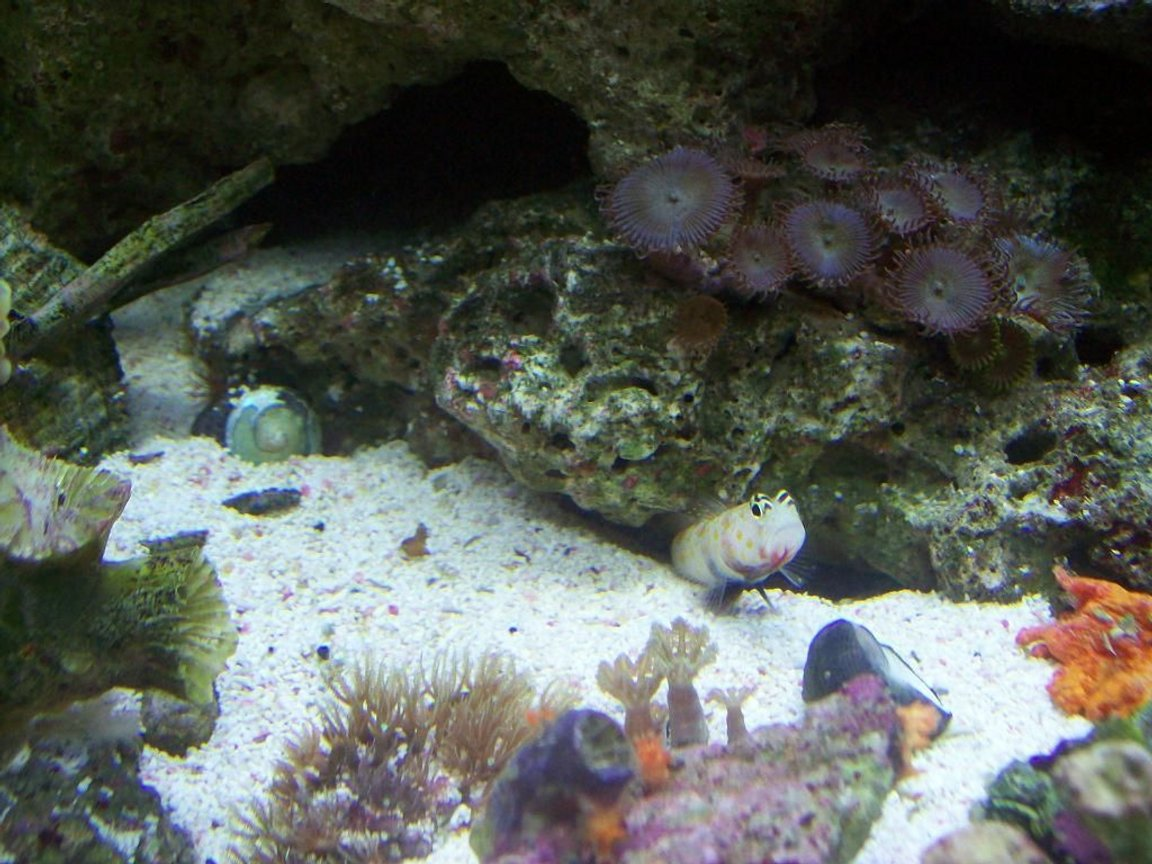 saltwater fish - cryptocentrus leptocephalus - pink spotted watchman goby stocking in 14 gallons tank - dobby the gobby