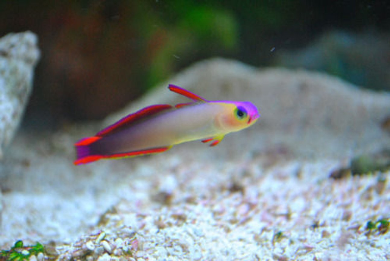 saltwater fish - nemateleotris decora - firefish, purple stocking in 29 gallons tank - My purple fire fish.