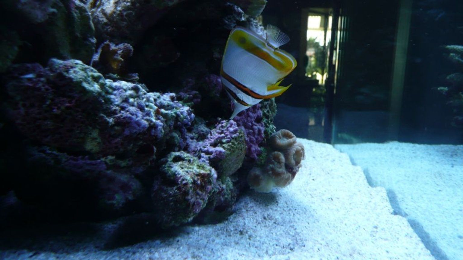 saltwater fish - chelmon rostratus - copperband butterflyfish stocking in 60 gallons tank - Copperband butterfly fish