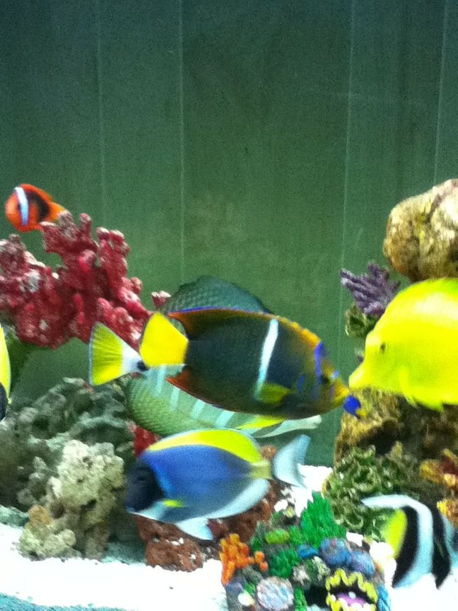 saltwater fish - zebrasoma flavescens - yellow tang - hawaii stocking in 150 gallons tank - Picaso