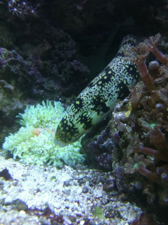 saltwater fish - echidna nebulosa - snowflake eel stocking in 75 gallons tank - My eel trying to steal dinner from my sebae anemone