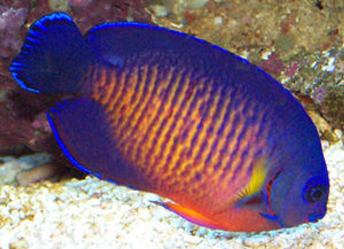 saltwater fish - centropyge bispinosa - coral beauty angelfish stocking in 90 gallons tank - coral beauty angel