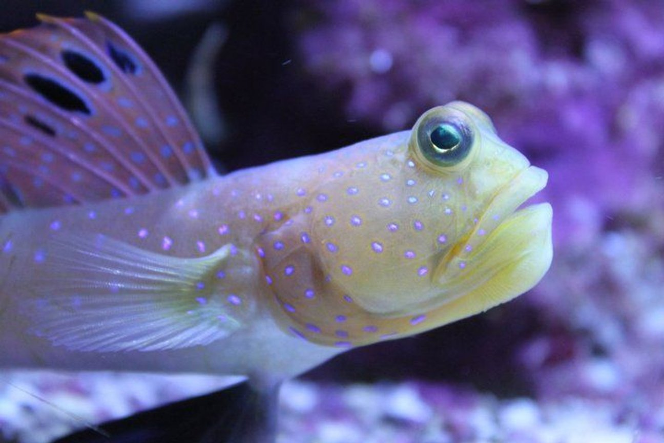 saltwater fish - cryptocentrus pavoninoides - bluespotted watchman goby stocking in 120 gallons tank - Old man of the tank