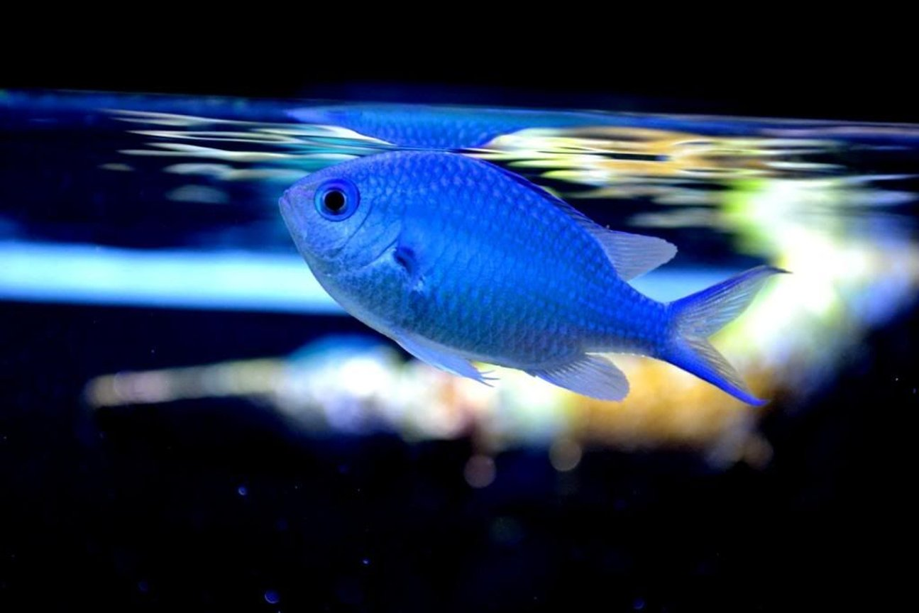 saltwater fish - chromis viridis - blue/green reef chromis stocking in 200 gallons tank - Chromis in Space