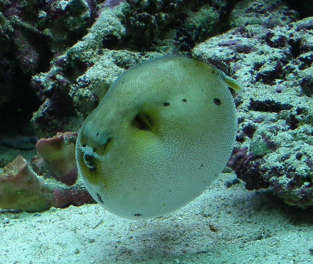 saltwater fish - arothron nigropunctatus - arothron dog face puffer stocking in 165 gallons tank - Dag my Puffed up Dogfaced puffer