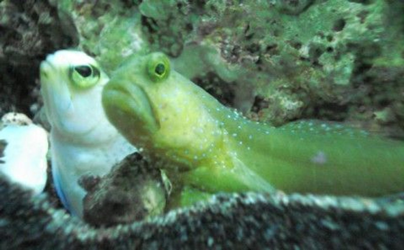 saltwater fish - cryptocentrus pavoninoides - bluespotted watchman goby stocking in 120 gallons tank - Pearly Jawfish and Watchman Goby...BFF's